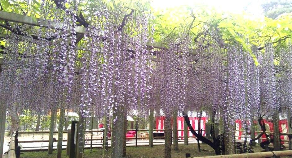 三大神社の藤棚